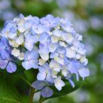 紫陽花は縁起が悪い?風水的に考えるアジサイの置き場所や植える場所とは!