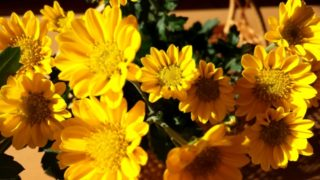 重陽の節句の花は菊