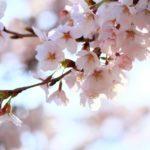 桜風水なら強烈なパワースポットの吉野山へ!