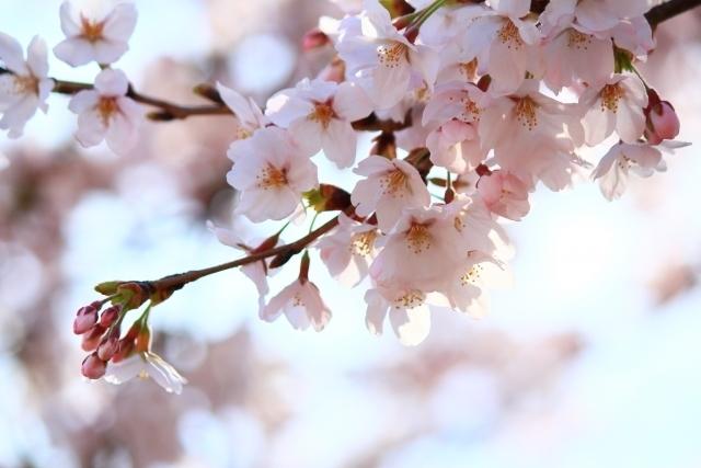 桜風水で厄落とし